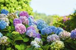 Oblíbená květina našich babiček se vrací na výsluní. Bohatými kulovitými květy krášlí zahrady, ale i terasy a balkony. Pěstuje se dokonce i jako pokojová rostlina. Pokud vám nekvete, nebo má květy malé a vybledlé, děláte někde chybu. Poradíme vám, co hortenzie potřebují, aby se jim dařilo!