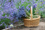 Ať už máte na balkóně květináč s jednou rostlinou nebo vaši zahrádku zdobí hned několik keříků, určitě chcete, aby levandule měla krásný tvar a byla celá obsypaná voňavými fialovými květy. To snadno ovlivníte správným řezem v ten pravý čas. Jak levanduli ostříhat a kdy, se dozvíte v našem článku.
