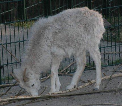 Ovce budou hrát prim v Borovanech.