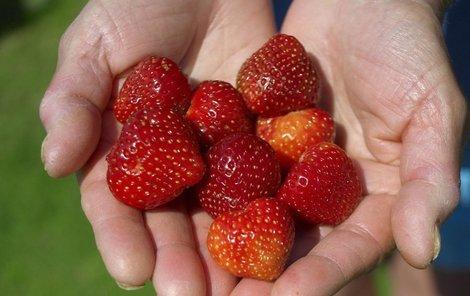 Samosběr jahod je skvělou příležitostí se dostat na čerstvý vzduch a zároveň ušetřit.