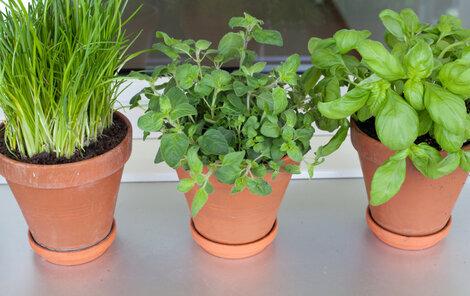 vypěstujte si bylinky