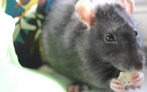 Potkan Pepper nabírá sílu na další kousky!