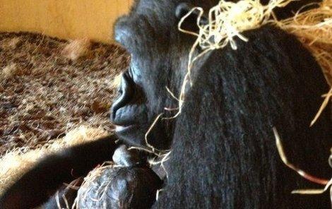 Moja se okamžitě začala o své první mládě starat. Hodinu po porodu viděli chovatelé mládě poprvé sát mateřské mléko.