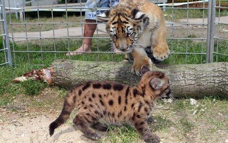 Tygřík versus puma. Jak tohle dopadne?