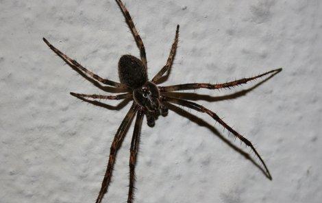 Dívku vyplašil pavouk...