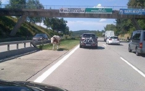 Zmatená kráva si to metelila v protisměru.