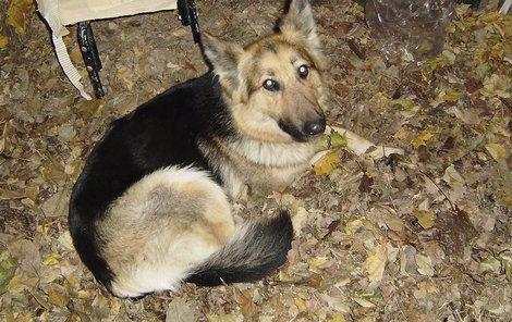 Zaběhnutá Míša je německý ovčák, po předcích má ale rysy dlouhosrsté kolie.