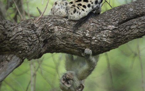 Leopard si nakonec musel najít jinou svačinku...