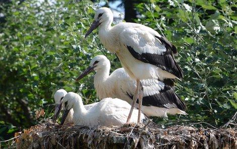 Čapí čtyřčata si spokojeně hoví v náhradním hnízdě.