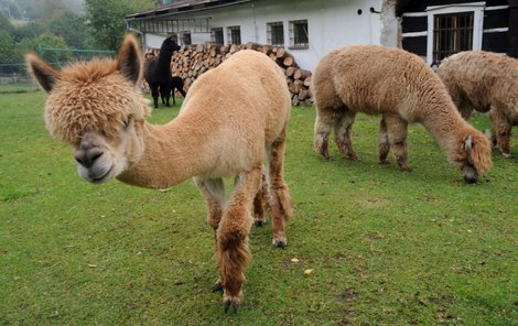 Lama přišla o kožich