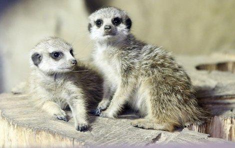 V pražské zoo se vůbec poprvé narodily surikaty. Jsou to dvě slečny...