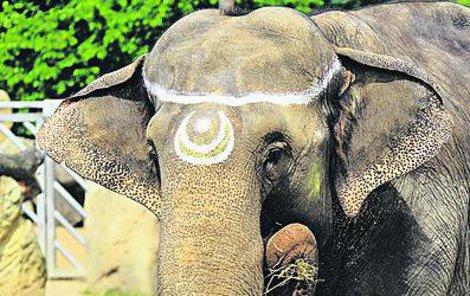 Gulab měla včera na čele namalovaný stejný znak jako při příjezdu do zoo. Podle chovatele Karla Kaprála je vůdčí samicí stáda.