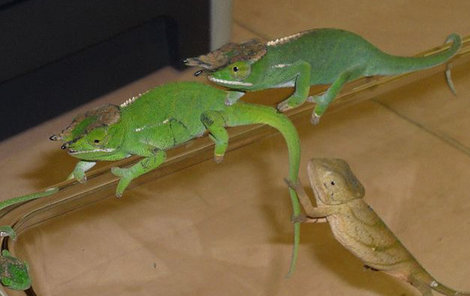 Chameleoni byli po cestě v hrozném stavu.