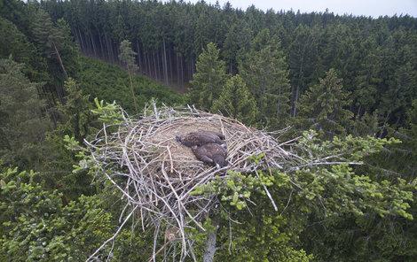 Dvě otrávená mláďata orla mořského našli ornitologové přímo ve hnízdě!