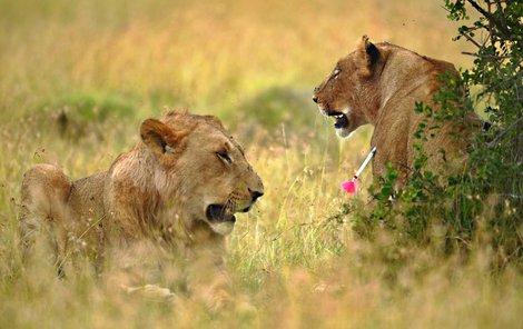 Mladý lev si všiml, že lvice má v těle něco, co tam nepatří.