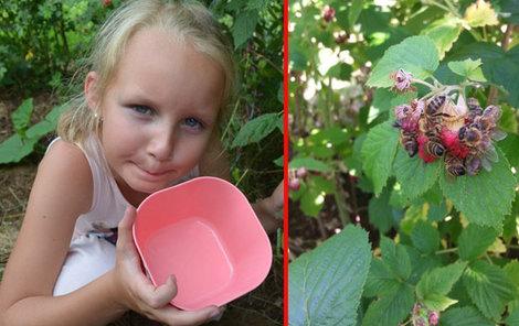 Maliny včelky doslova obalí a vysají z nich sladkou šťávu.