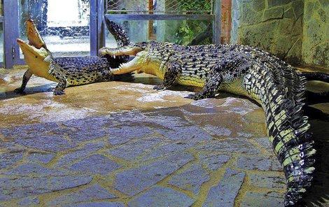 Unikátní foto námluv krokodýla mořského. Golem není žádný gentleman. Drsným způsobem přemlouvá samici Adélu k páření.