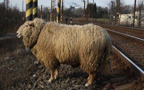 Ovce způsobila vlakovou výluku!
