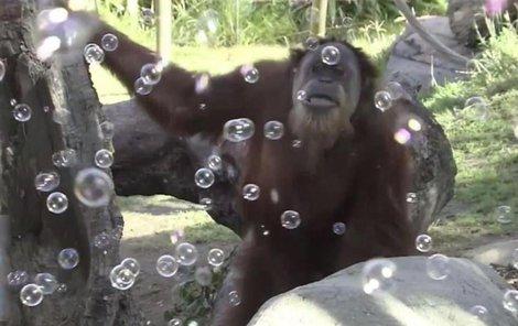 Bubliny baví malé i dospělé. A orangutany taktéž!