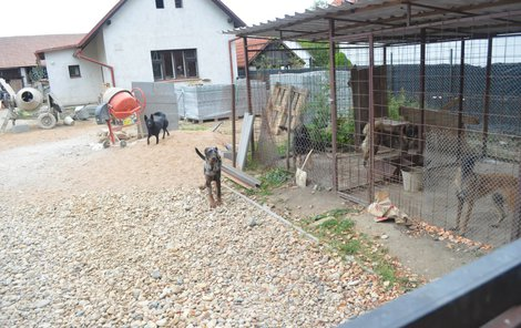 Den po útoku byli psi zavřeni v kotci, dva pobíhali okolo.