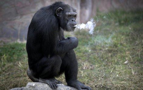 Kouřící opice ze zoo v Pchjongjangu je senzací.