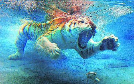 Pro tygřici Sita je voda její živel!