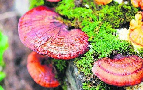 Reishi, česky lesklokorka lesklá, je houba, kterou zřídka potkáme i v našich listnatých lesích u pařezů dubů a habrů.
