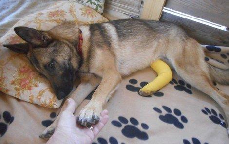 Fenka Šedá se dodnes z těžkého poranění léčí, možná přijde o nohu.