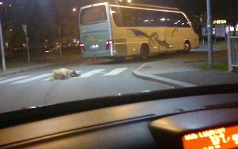 Mrtvou ovci někdo přivázal za autobus.