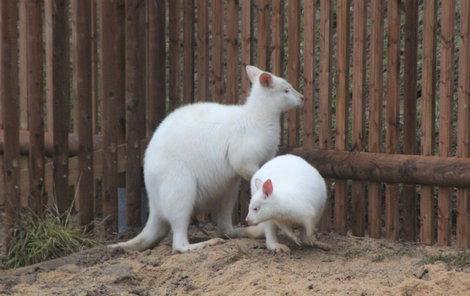 Skippy (vlevo) si se svou nevěstou užívá nový výběh.