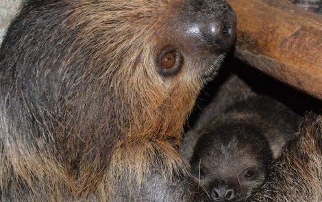 Samice Máma je zkušená matka, o nově narozeného potomka se vzorně stará.