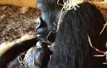 Gorila Moja (8) je mámou! Porodila ve španělském Cabárcenu!