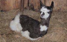Narodila se holčička lamy: Hledá se jméno na »L«!