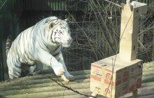 Video: Jak bílý tygr Paris z Liberce (ne)ulovil žirafu. Ale dal jí pěkně co proto!