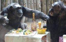 Šimpanzí mejdan v Zoo Dvůr Králové:  A co si nejdřív ťuknout?