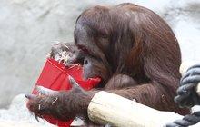 Orangutanní škola aneb Gempa (9) učí Diri (1): Takhle pije opice!