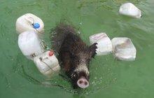 Lázeňské překvapení: V bazénu se topil divočák, nakonec napadl zachránce!