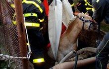 Hodinový boj o život hasiči vyhráli: Kůň spadl do studny!