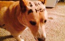 Smutný psí příběh: S nápisem na kožichu hledala páníčka!
