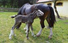 Hříbě je hvězdou zooparku v Chomutově: Gordon bude největší kůň!