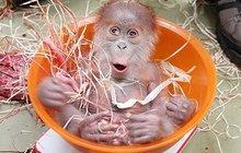 Tak roztomilý a tak opuštěný orangutánek: Kruci, proč mě ta máma nechce?