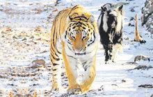 Když se tygr skamarádí sobědem!