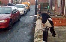 Opeřená hvězda Twitteru: Straka s cigárkem v zobáku!