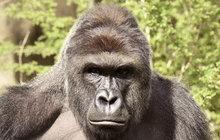 Kauza zabité gorily: Harambe byl jen zvědavý!