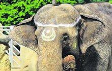Slonice, která v pražské zoo zachránila život ošetřovateli, slaví 50 let!