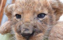 Rufuse a Cézara lvice odkopla: Mají lidskou mámu!