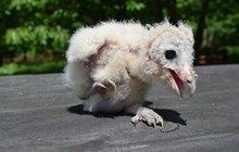 Ochmýřená ošklivka bude kráskou: Sourozence jí zabily sovy!