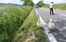 Záchrana zvířecí rodinky: Labutě kličkovaly mezi auty!