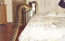 Děsivý budíček: Pětimetrová krajta v posteli!