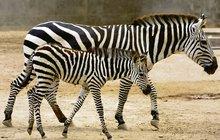 NEZNÁMÝ BYZNYS ČESKÝCH ZOO: Prodávají klokany i zebry!